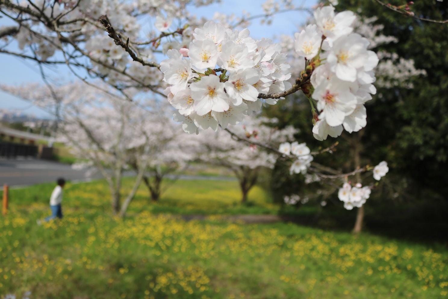 桜は満開ですが…