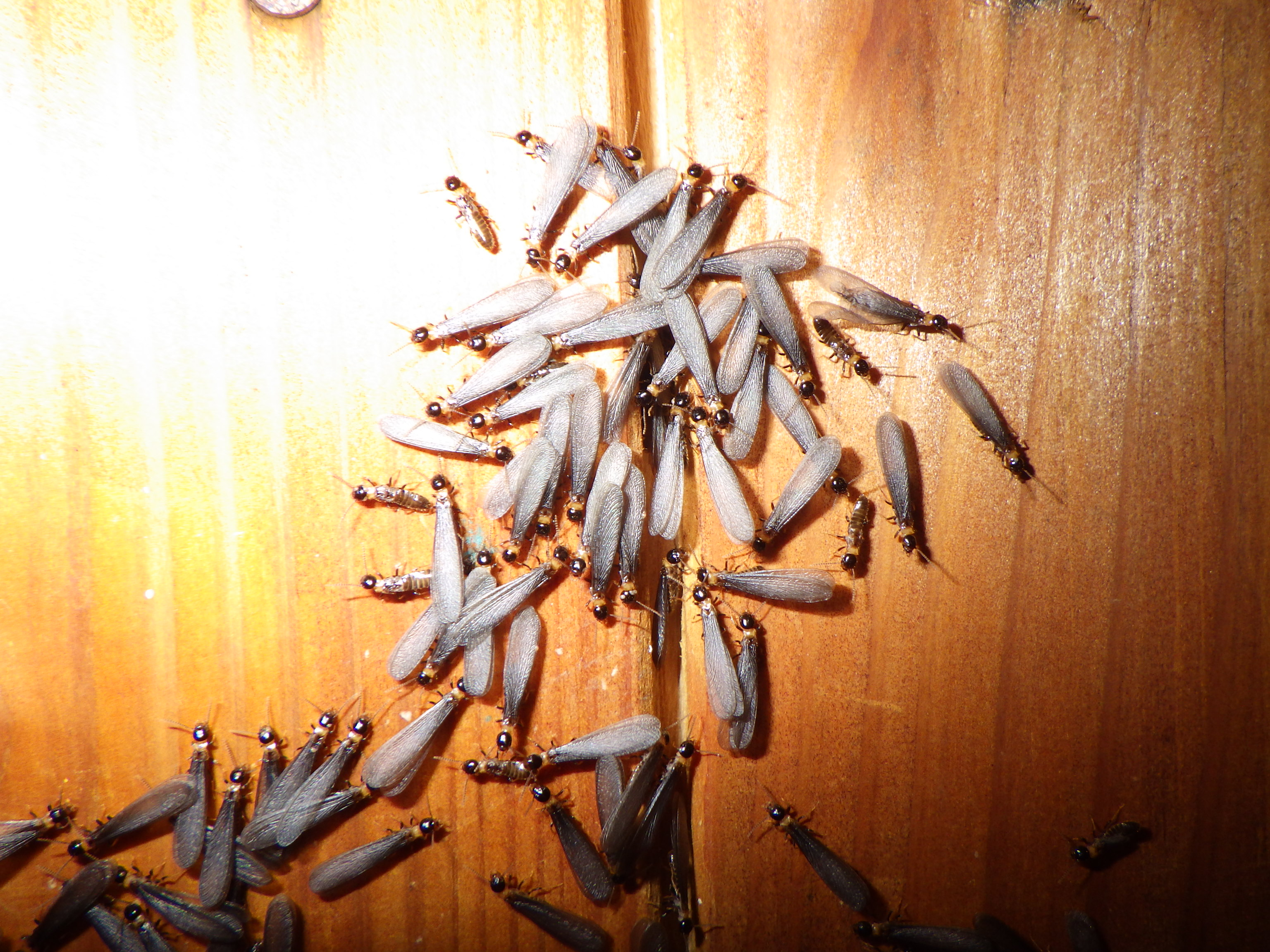 ヤマトシロアリの羽アリです!